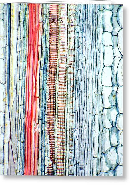 Phloem Greeting Cards - Castor Oil Stem, Light Micrograph Greeting Card by Dr Keith Wheeler
