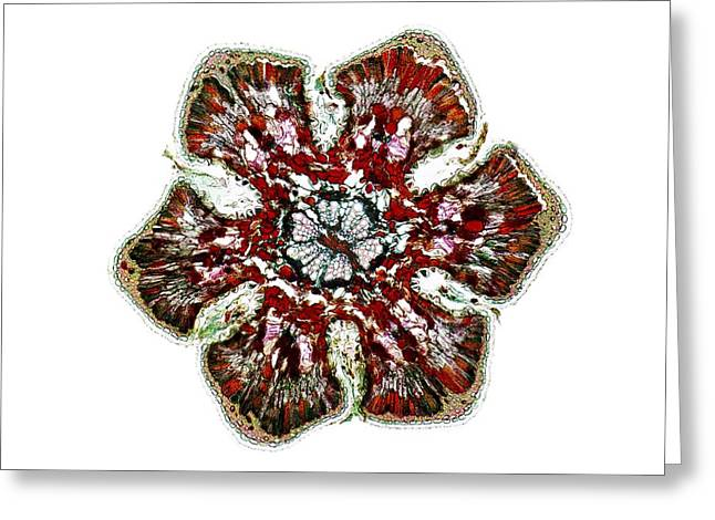 Adaptation Greeting Cards - Casuarinacone Sp. Fruit, Light Micrograph Greeting Card by Frank Fox