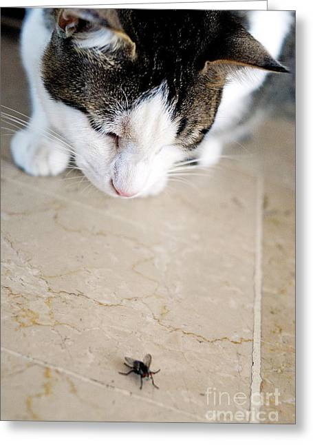 Sami Sarkis Greeting Cards - Cat hunting the fly Greeting Card by Sami Sarkis