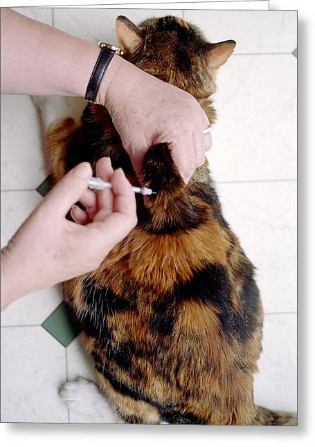 Molly Greeting Cards - Cat Insulin Injection Greeting Card by Victor De Schwanberg
