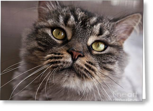 Furry Coat Greeting Cards - Cat of Nicole 5 Greeting Card by Heiko Koehrer-Wagner