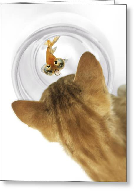 Predacious Greeting Cards - Cat Peering Into Fishbowl Greeting Card by Darwin Wiggett