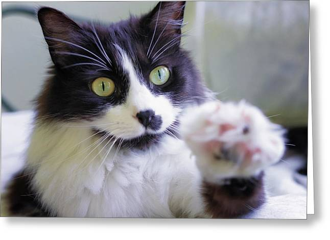 Tuxedo Greeting Cards - Cat Reaches for Camera Greeting Card by Lori Coleman