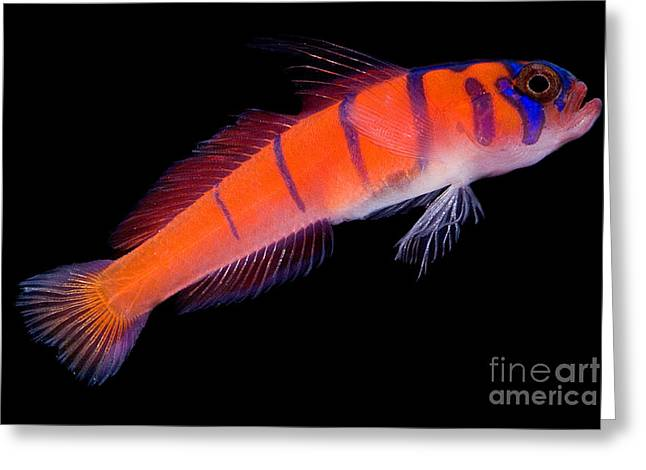 Aquarium Fish Greeting Cards - Catalina Goby Greeting Card by Danté Fenolio