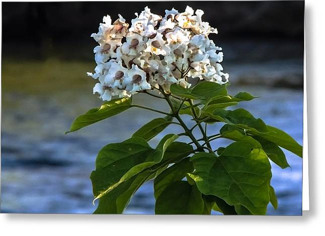 Picturesqueness Greeting Cards - Catalpa Beauty Greeting Card by Robert Bales