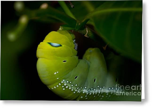 Venura Herath Greeting Cards - Caterpillar  Greeting Card by Venura Herath