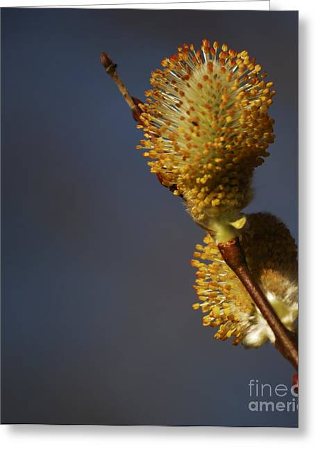 Pussy Greeting Cards - Catkins Greeting Card by Randy Bodkins