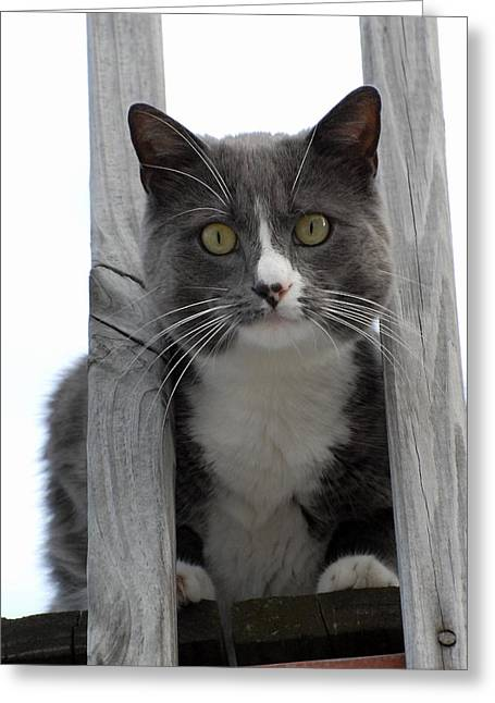 Litter Mates Greeting Cards - Cats 46 Greeting Card by Joyce StJames