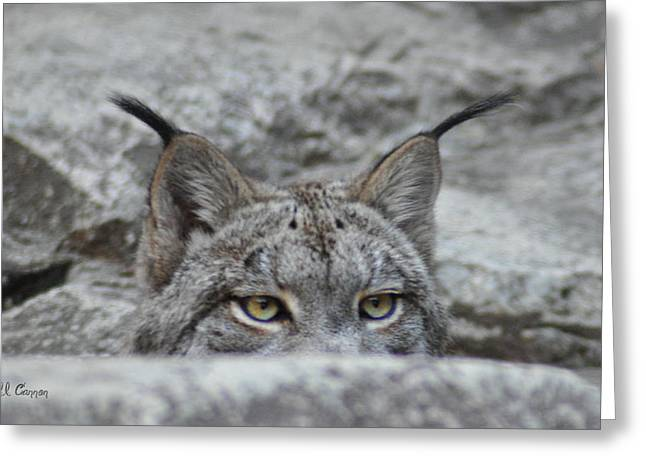Canadian Lynx Greeting Cards - Cats Eyes - Lynx Greeting Card by Bill Cannon
