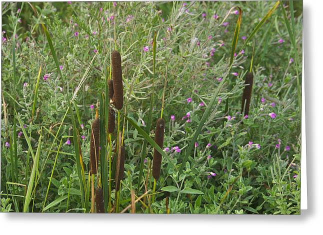 Bulrushes Greeting Cards - Cattails 7145 Greeting Card by Michael Peychich