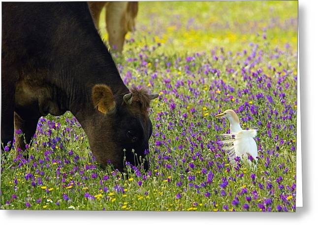 Bubulcus Ibis Greeting Cards - Cattle And Cattle Egret Greeting Card by Bob Gibbons