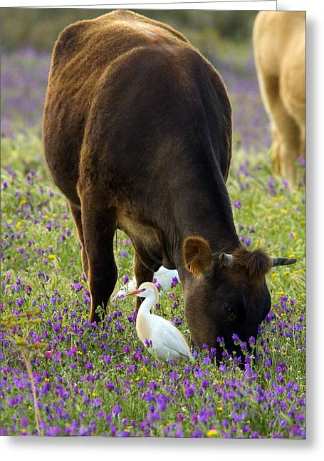 Bubulcus Ibis Greeting Cards - Cattle And Cattle Egrets Greeting Card by Bob Gibbons