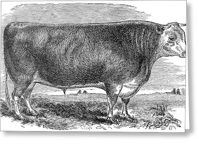 1880s Photographs Greeting Cards - CATTLE, c1880 Greeting Card by Granger