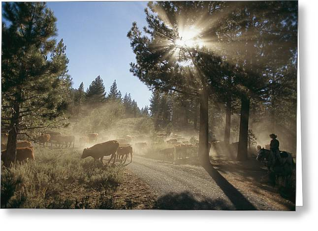 Bridgeport California Greeting Cards - Cattle Cross A Gravel Road On A Fall Greeting Card by Michael S. Lewis