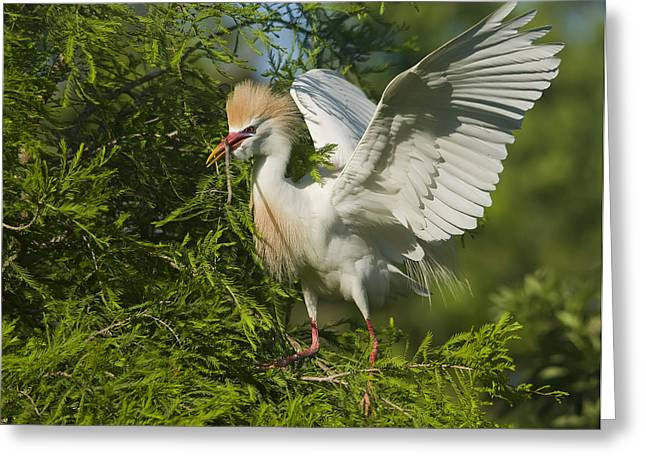 Bubulcus Ibis Greeting Cards - Cattle Egret 1 Greeting Card by Wade Aiken