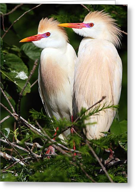 Cattle Egret Greeting Cards - Cattle Egret Pair Greeting Card by Rick Mann