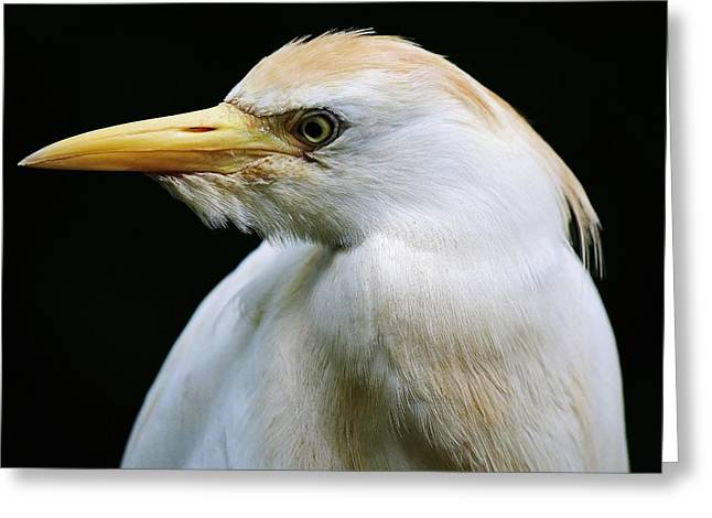 Cattle Egret Greeting Card by Paulette Thomas