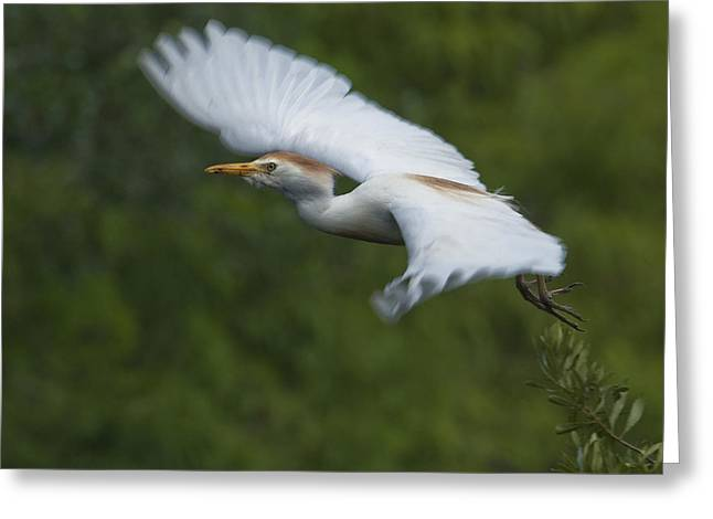Cattle Egret Greeting Cards - Cattle Egret Takeoff Greeting Card by Wade Aiken