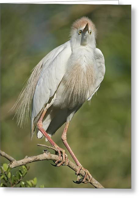 Cattle Egret Greeting Cards - Cattle Egret Greeting Card by Wade Aiken