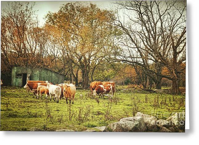 Pasture Scenes Greeting Cards - Cattle gazing on remaining green grass Greeting Card by Sandra Cunningham