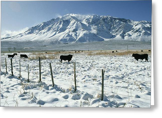 Grazing Snow Greeting Cards - Cattle Graze Under Mount Tom In Eastern Greeting Card by Gordon Wiltsie