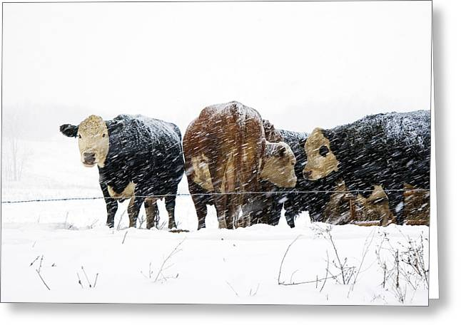 Cattle In A Snowstorm In Southwest Michigan Greeting Card by Randall Nyhof
