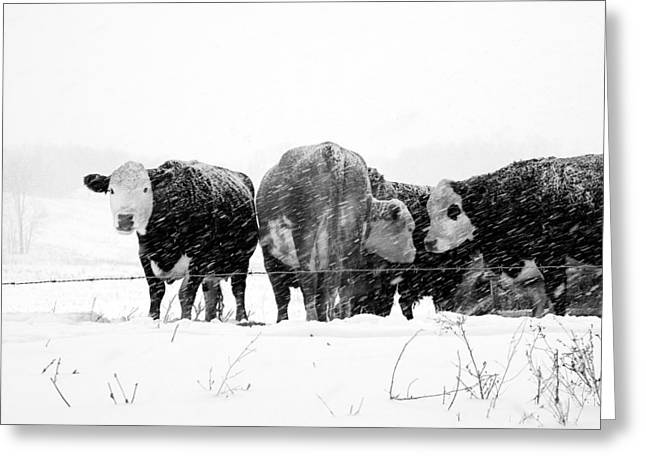 Blustery Greeting Cards - Cattle in a snowstorm Greeting Card by Randall Nyhof