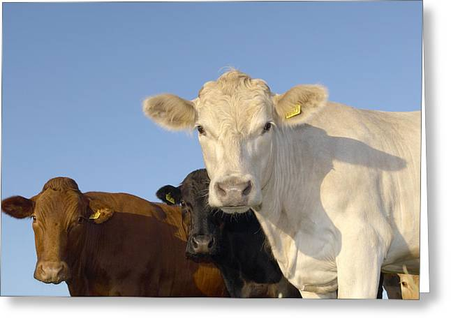 Ear Tags Greeting Cards - Cattle Greeting Card by Jeremy Walker