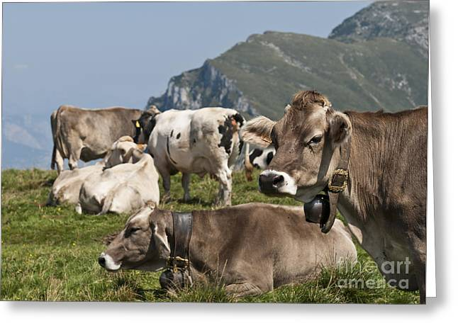 Creature Eating Greeting Cards - cattle on Monte Baldo Italy Greeting Card by Gady Cojocaru