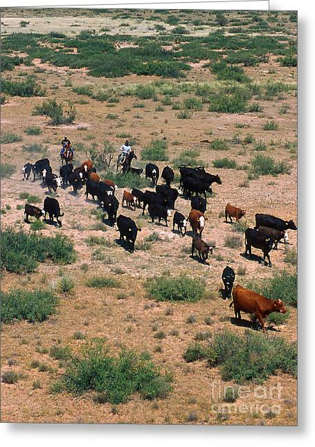 Las Cruces New Mexico Greeting Cards - Cattle Round Greeting Card by Photo Researchers