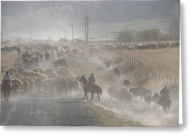 Dust Clouds Greeting Cards - Cattle Round-up, Caribou National Greeting Card by Raymond Gehman