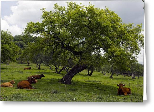 Quercus Greeting Cards - Cattle Under A Holm Oak Tree Greeting Card by Bob Gibbons
