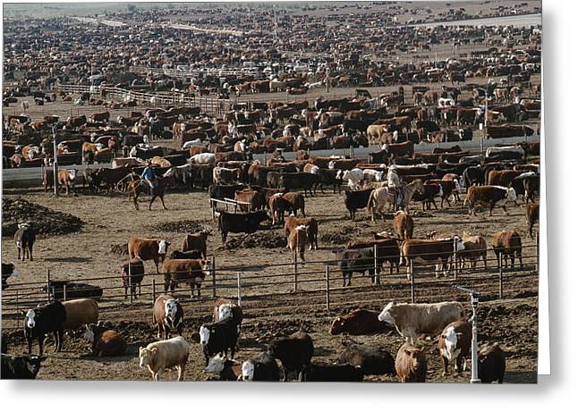 Herder Greeting Cards - Cattle Wait To Be Moved By Cowboys Greeting Card by James A. Sugar