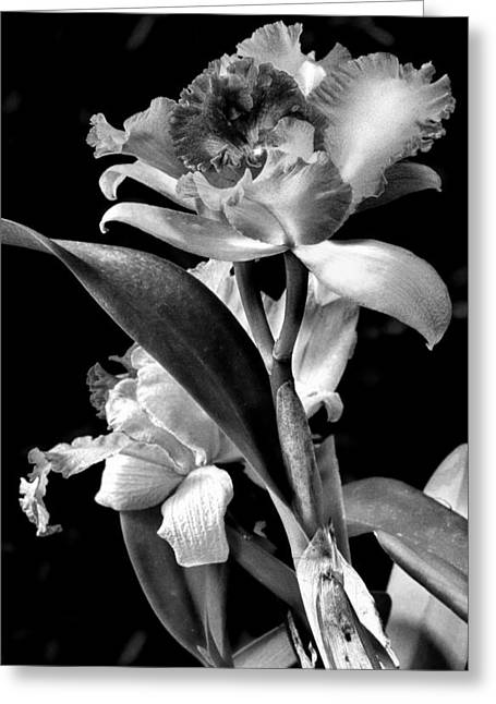Cattleya Orchid Greeting Cards - Cattleya - BW Greeting Card by Christopher Holmes