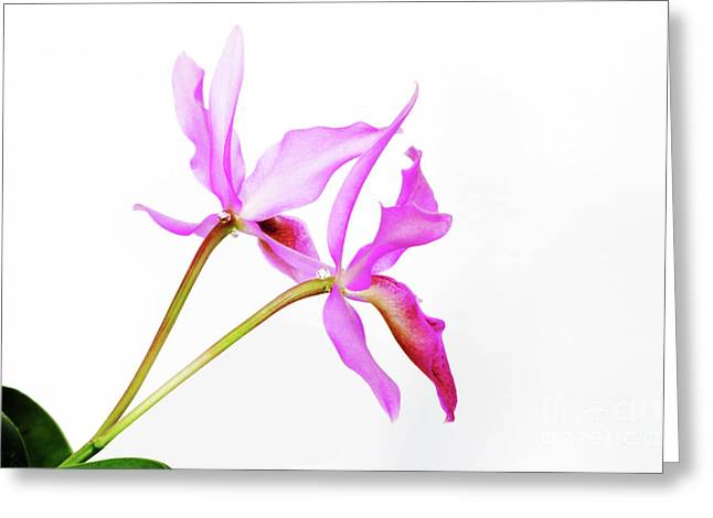 Cattleya Greeting Cards - Cattleya guatemalensis Greeting Card by Charline Xia
