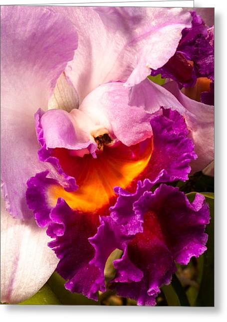 Christopher Holmes Greeting Cards - Cattleya III Greeting Card by Christopher Holmes