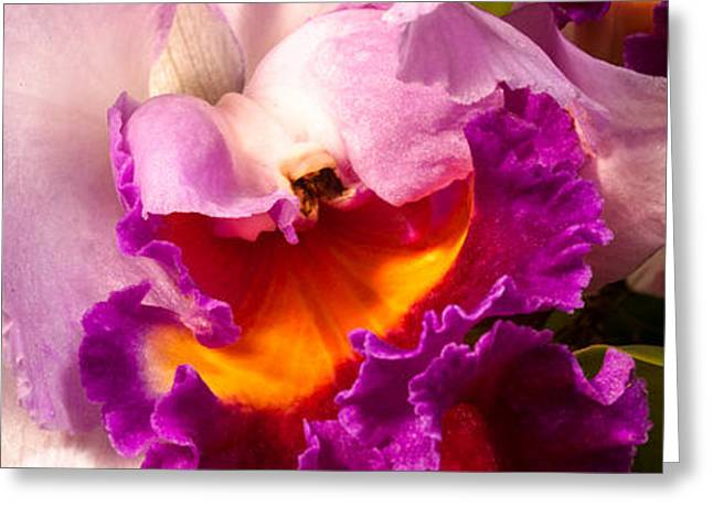 Cattleya III Greeting Card by Christopher Holmes