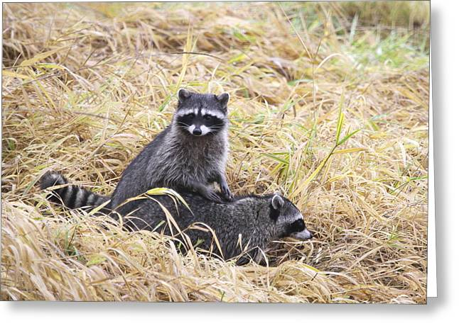 Wildlife Refuge. Greeting Cards - Cautious Racoons Greeting Card by Angie Vogel
