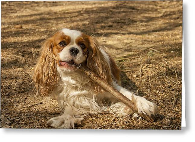 Spaniel Greeting Cards - Cavalier King Charles Spaniel Greeting Card by Nomad Art And  Design
