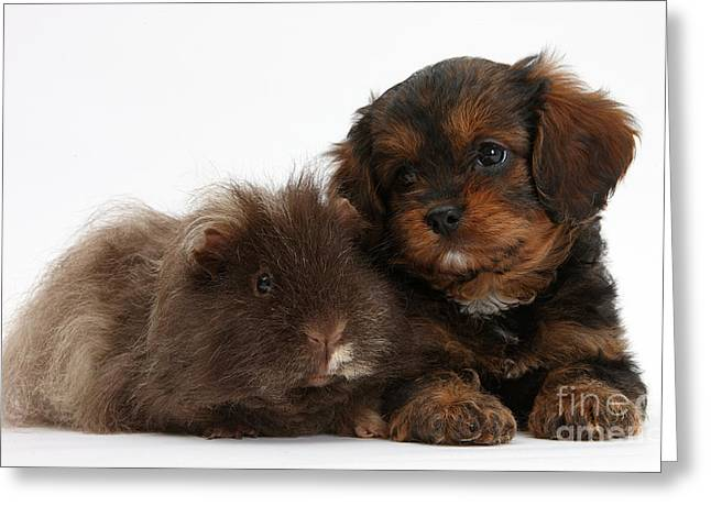Dog Photographs Greeting Cards - Cavapoo Pup And Shaggy Guinea Pig Greeting Card by Mark Taylor
