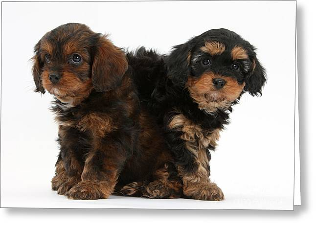 Puppies Photographs Greeting Cards - Cavapoo Pups Greeting Card by Mark Taylor