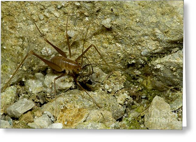 Subterranean Fauna Greeting Cards - Cave Cricket Greeting Card by Dante Fenolio