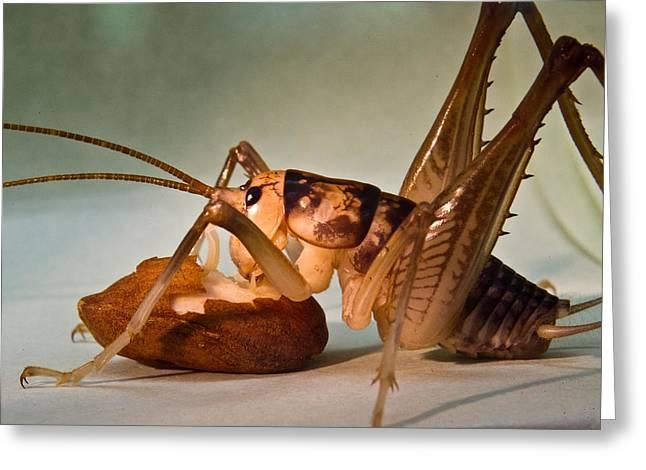 Cave Cricket Feeding On Almond 10 Greeting Card by Douglas Barnett