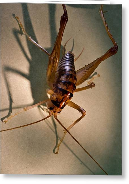 Cave Cricket In Shadow 2 Greeting Card by Douglas Barnett
