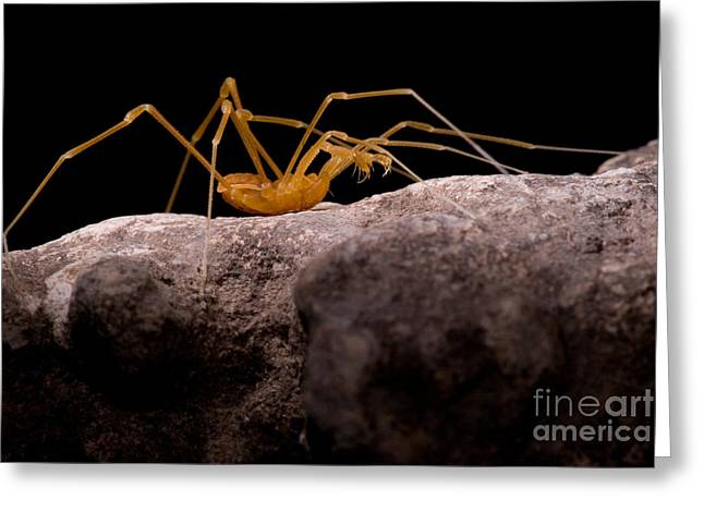 Troglobitic Greeting Cards - Cave Harvestman Greeting Card by Danté Fenolio