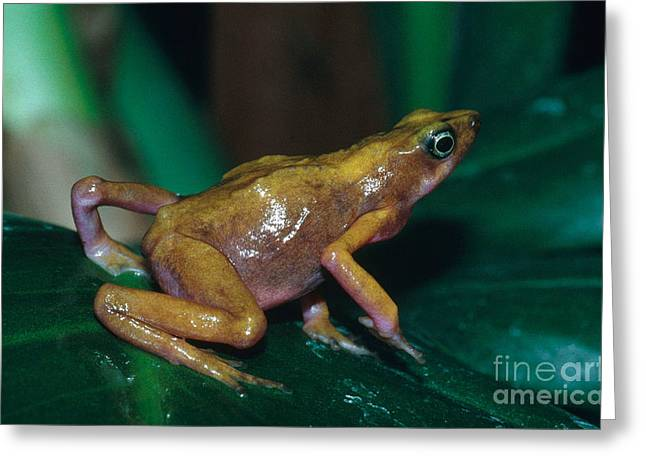 Cayenne Greeting Cards - Cayenne Harlequin Toad Greeting Card by Dante Fenolio