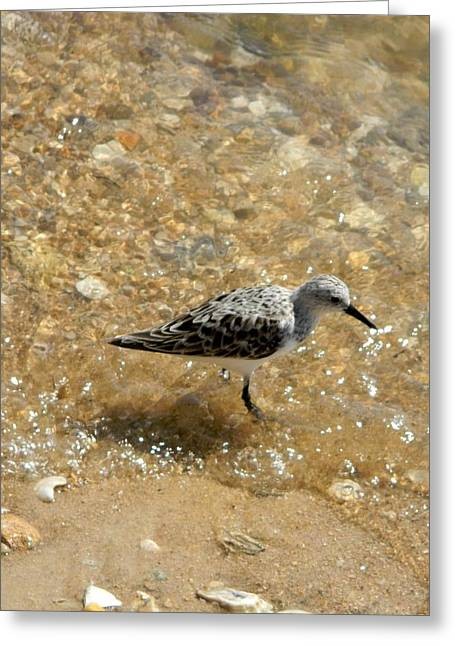 Cedar Key Greeting Cards - Cedar Key Sandpiper  Greeting Card by Warren Thompson