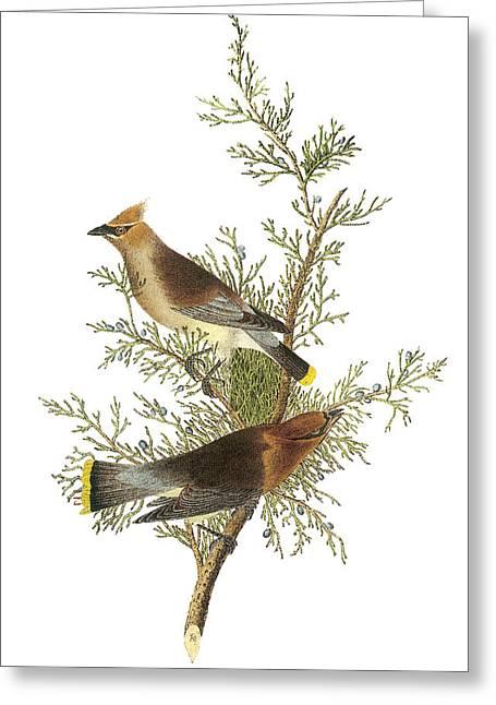 Cedar Waxwing Greeting Card by John James Audubon