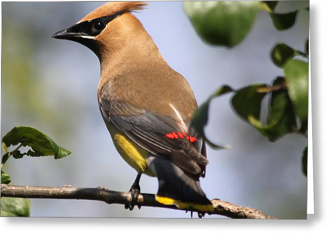 Cedar Waxwing Greeting Cards - Cedar Waxwing Greeting Card by Lauri Novak