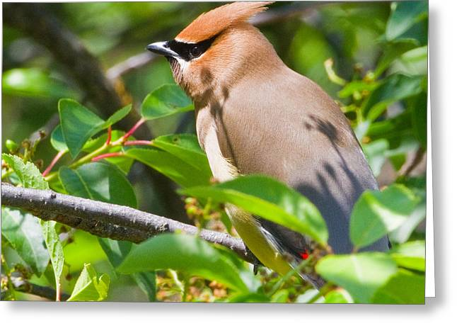 Fort Missoula Greeting Cards - Cedar Waxwing Greeting Card by Merle Ann Loman